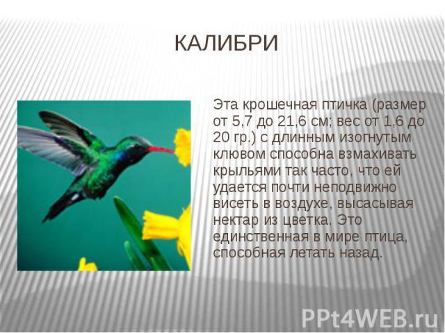 КАЛИБРИ Эта крошечная птичка (размер от 5,7 до 21,6 см; вес от 1,6 до 20 гр.) с длинным изогнутым клювом способна взмахивать крыльями так часто, что ей удается почти неподвижно висеть в воздухе, высасывая нектар из цветка. Это единственная в мире пт…