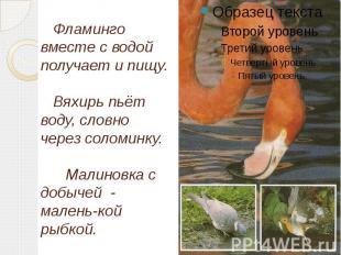 Фламинго вместе с водой получает и пищу. Вяхирь пьёт воду, словно через соломинк