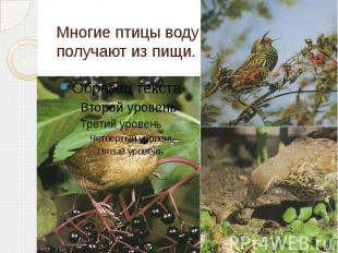 Многие птицы воду получают из пищи.