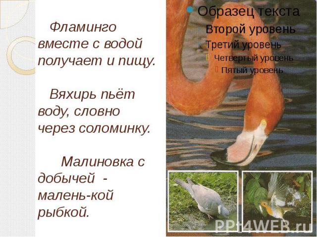 Фламинго вместе с водой получает и пищу. Вяхирь пьёт воду, словно через соломинку. Малиновка с добычей - малень-кой рыбкой.