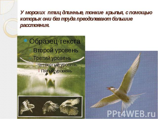 У морских птиц длинные, тонкие крылья, с помощью которых они без труда преодолевают большие расстояния.