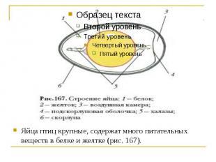 Яйца птиц крупные, содержат много питательных веществ в белке и желтке (рис. 167
