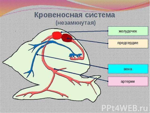 Кровеносная система (незамкнутая)