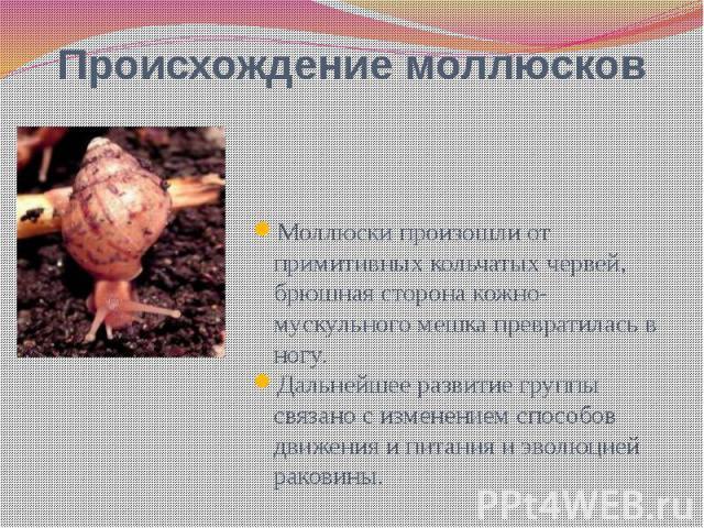 Происхождение моллюсков Моллюски произошли от примитивных кольчатых червей, брюшная сторона кожно-мускульного мешка превратилась в ногу. Дальнейшее развитие группы связано с изменением способов движения и питания и эволюцией раковины.