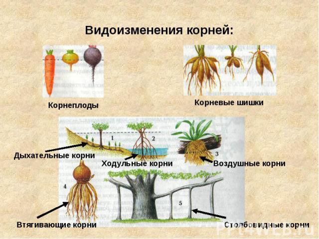 Видоизменения корней: