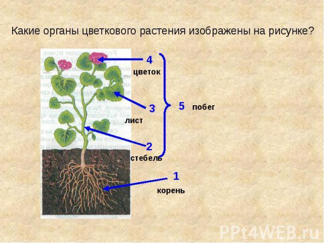 Какие органы цветкового растения изображены на рисунке?