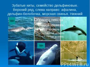 Зубатые киты, семейство дельфиновые. Верхний ряд, слева направо: афалина, дельфи