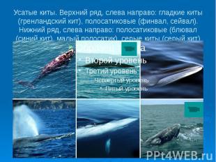 Усатые киты. Верхний ряд, слева направо: гладкие киты (гренландский кит), полоса