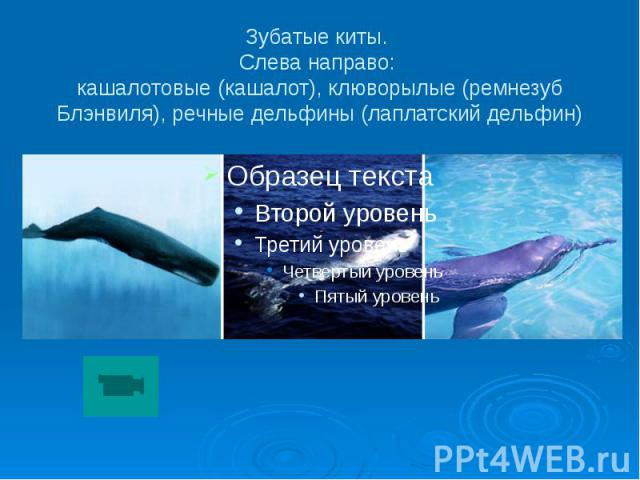 Зубатые киты. Слева направо: кашалотовые (кашалот), клюворылые (ремнезуб Блэнвиля), речные дельфины (лаплатский дельфин)