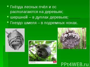 Гнёзда лесных пчёл и ос располагаются на деревьях; Гнёзда лесных пчёл и ос распо