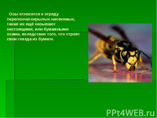Осы относятся к отряду перепончатокрылых насекомых, также их ещё называют настоящими, или бумажными осами, вследствие того, что строят свои гнезда из бумаги. Осы относятся к отряду перепончатокрылых насекомых, также их ещё называют настоящими, или б…