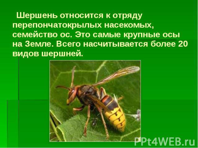 Шершень относится к отряду перепончатокрылых насекомых, семейство ос. Это самые крупные осы на Земле. Всего насчитывается более 20 видов шершней. Шершень относится к отряду перепончатокрылых насекомых, семейство ос. Это самые крупные осы на Земле. В…