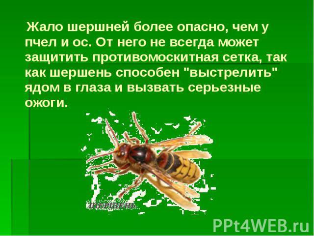 """Жало шершней более опасно, чем у пчел и ос. От него не всегда может защитить противомоскитная сетка, так как шершень способен """"выстрелить"""" ядом в глаза и вызвать серьезные ожоги. Жало шершней более опасно, чем у пчел и ос. От него не всегд…"""