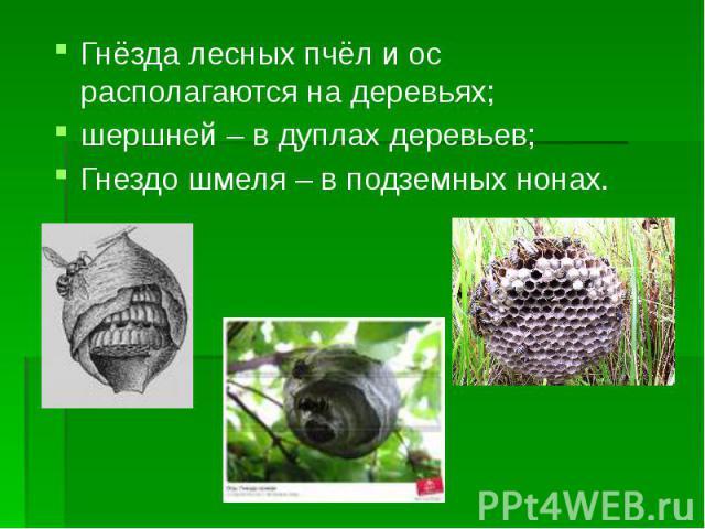 Гнёзда лесных пчёл и ос располагаются на деревьях; Гнёзда лесных пчёл и ос располагаются на деревьях; шершней – в дуплах деревьев; Гнездо шмеля – в подземных нонах.