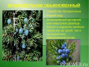 МОЖЖЕВЕЛЬНИК ОБЫКНОВЕННЫЙ Семейство Кипарисовые. Редкий вид. Вечнозеленый кустар