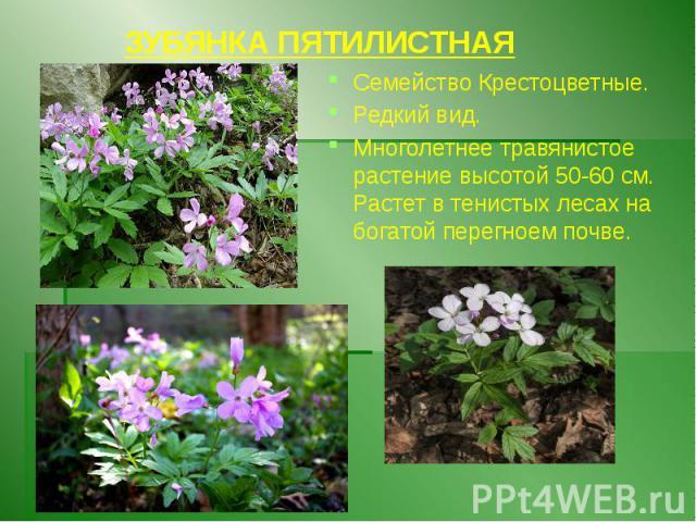 ЗУБЯНКА ПЯТИЛИСТНАЯ Семейство Крестоцветные. Редкий вид. Многолетнее травянистое растение высотой 50-60 см. Растет в тенистых лесах на богатой перегноем почве.