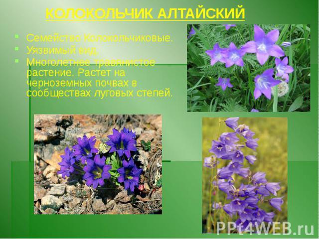 КОЛОКОЛЬЧИК АЛТАЙСКИЙ Семейство Колокольчиковые. Уязвимый вид. Многолетнее травянистое растение. Растет на черноземных почвах в сообществах луговых степей.