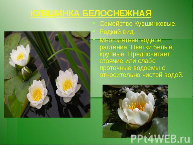 КУВШИНКА БЕЛОСНЕЖНАЯ Семейство Кувшинковые. Редкий вид. Многолетнее водное растение. Цветки белые, крупные. Предпочитает стоячие или слабо проточные водоемы с относительно чистой водой.