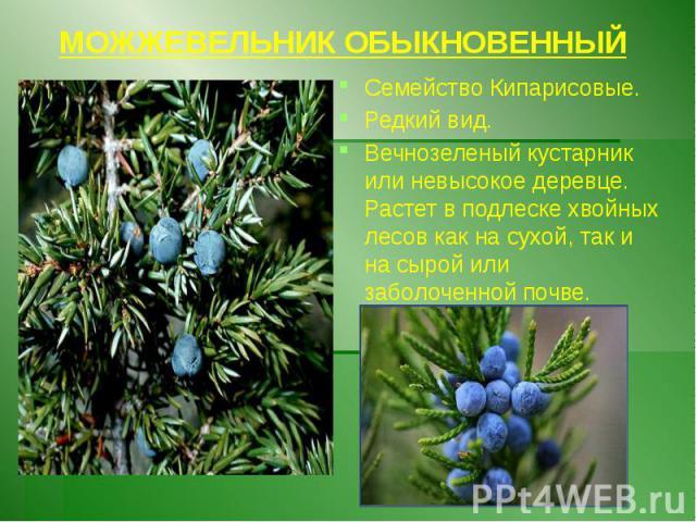 МОЖЖЕВЕЛЬНИК ОБЫКНОВЕННЫЙ Семейство Кипарисовые. Редкий вид. Вечнозеленый кустарник или невысокое деревце. Растет в подлеске хвойных лесов как на сухой, так и на сырой или заболоченной почве.