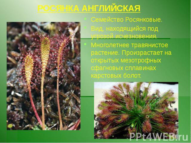 РОСЯНКА АНГЛИЙСКАЯ Семейство Росянковые. Вид, находящийся под угрозой исчезновения. Многолетнее травянистое растение. Произрастает на открытых мезотрофных сфагновых сплавинах карстовых болот.