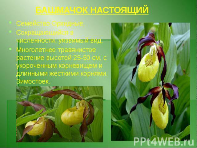 БАШМАЧОК НАСТОЯЩИЙ Семейство Орхидные. Сокращающийся в численности, уязвимый вид. Многолетнее травянистое растение высотой 25-50 см, с укороченным корневищем и длинными жесткими корнями. Зимостоек.