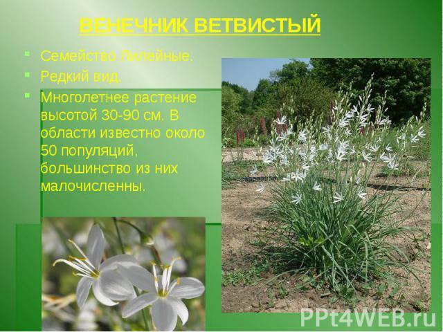 ВЕНЕЧНИК ВЕТВИСТЫЙ Семейство Лилейные. Редкий вид. Многолетнее растение высотой 30-90 см. В области известно около 50 популяций, большинство из них малочисленны.