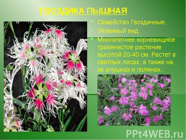 ГВОЗДИКА ПЫШНАЯ Семейство Гвоздичные. Уязвимый вид. Многолетнее корневищное травянистое растение высотой 20-40 см. Растет в светлых лесах, а также на их опушках и полянах.
