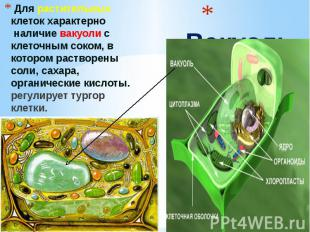 Вакуоль Для растительных клеток характерно наличие вакуоли с клеточным соком, в