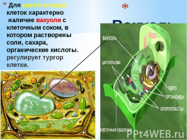Вакуоль Для растительных клеток характерно наличие вакуоли с клеточным соком, в котором растворены соли, сахара, органические кислоты. регулирует тургор клетки.