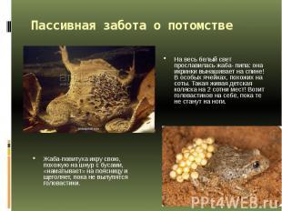 Пассивная забота о потомстве На весь белый свет прославилась жаба- пипа: она икр