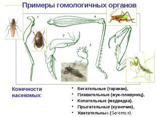 Бегательные (таракан), Бегательные (таракан), Плавательные (жук-плавунец), Копат