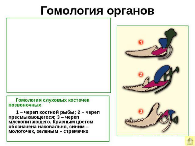 Гомология органов Гомология слуховых косточек позвоночных 1–череп костной рыбы; 2–череп пресмыкающегося; 3–череп млекопитающего. Красным цветом обозначена наковальня, синим–молоточек, зеленым–стремечко