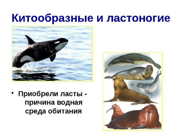 Китообразные и ластоногие Приобрели ласты - причина водная среда обитания