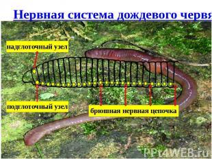 Нервная система дождевого червя