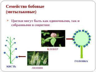Семейство бобовые (мотыльковые) Цветки могут быть как одиночными, так и собранны