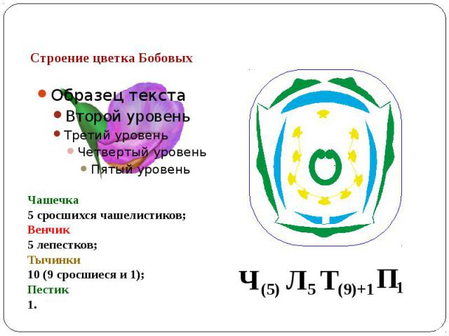 Строение цветка Бобовых