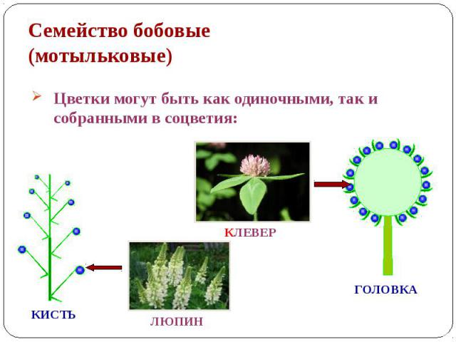Семейство бобовые (мотыльковые) Цветки могут быть как одиночными, так и собранными в соцветия: