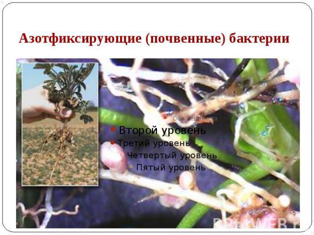 Азотфиксирующие (почвенные) бактерии Клубеньковые бактерии - род бактерий, образующих на корнях многих бобовых растений клубеньки. Растение поставляет бактериям необходимые им для роста и развития углеводы и минеральные соли, а взамен получает азот,…