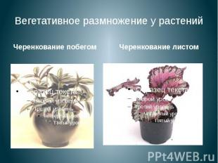 Вегетативное размножение у растений Черенкование побегом