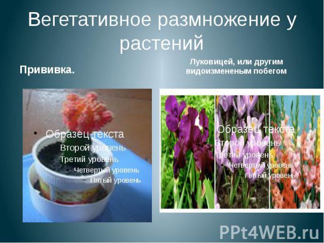 Вегетативное размножение у растений Прививка.