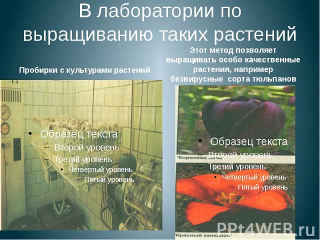 В лаборатории по выращиванию таких растений Пробирки с культурами растений