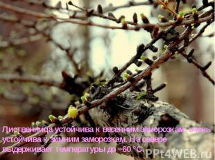 Лиственница устойчива к весенним заморозкам, очень устойчива к зимним заморозкам