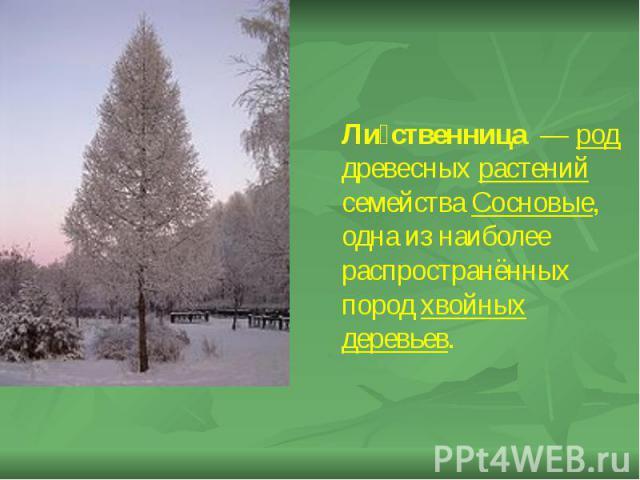 Ли ственница — род древесных растений семейства Сосновые, одна из наиболее распространённых пород хвойных деревьев. Ли ственница — род древесных растений семейства Сосновые, одна из наиболее распространённых пород хвойных деревьев.
