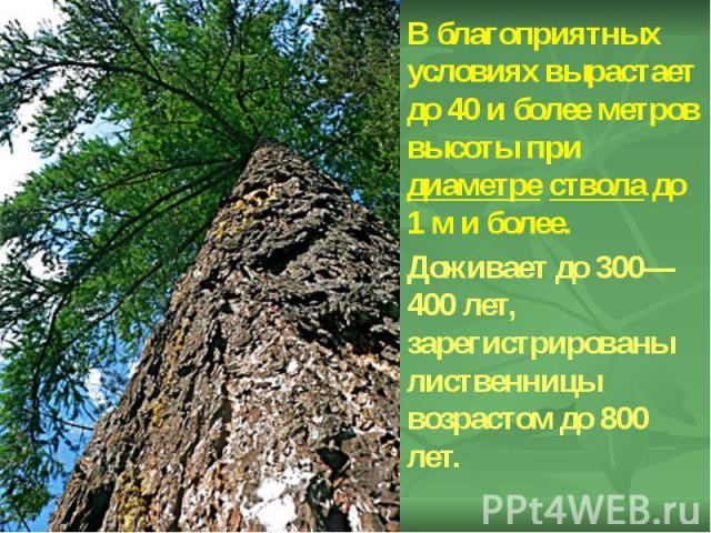 В благоприятных условиях вырастает до 40 и более метров высоты при диаметре ствола до 1м и более. В благоприятных условиях вырастает до 40 и более метров высоты при диаметре ствола до 1м и более. Доживает до 300—400 лет, зарегистрированы…