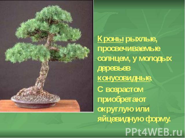 Кроны рыхлые, просвечиваемые солнцем, у молодых деревьев конусовидные. Кроны рыхлые, просвечиваемые солнцем, у молодых деревьев конусовидные. С возрастом приобретают округлую или яйцевидную форму.