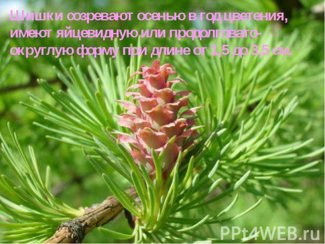 Шишки созревают осенью в год цветения, имеют яйцевидную или продолговато-округлую форму при длине от 1,5 до 3,5см. Шишки созревают осенью в год цветения, имеют яйцевидную или продолговато-округлую форму при длине от 1,5 до 3,5см.