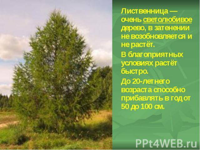 Лиственница— очень светолюбивое дерево, в затенении не возобновляется и не растёт. Лиственница— очень светолюбивое дерево, в затенении не возобновляется и не растёт. В благоприятных условиях растёт быстро. До 20-летнего возраста способно…