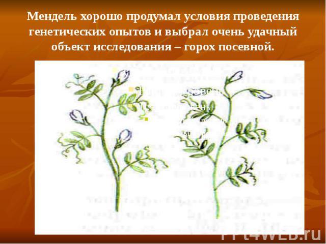 Мендель хорошо продумал условия проведения генетических опытов и выбрал очень удачный объект исследования – горох посевной.