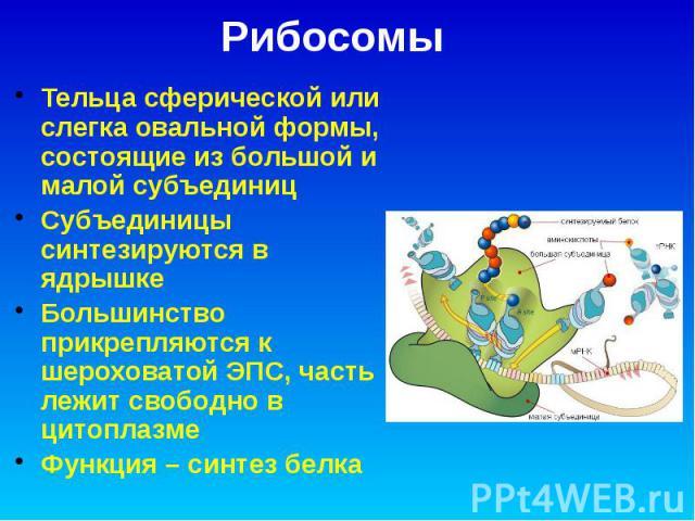 Рибосомы Тельца сферической или слегка овальной формы, состоящие из большой и малой субъединиц Субъединицы синтезируются в ядрышке Большинство прикрепляются к шероховатой ЭПС, часть лежит свободно в цитоплазме Функция – синтез белка