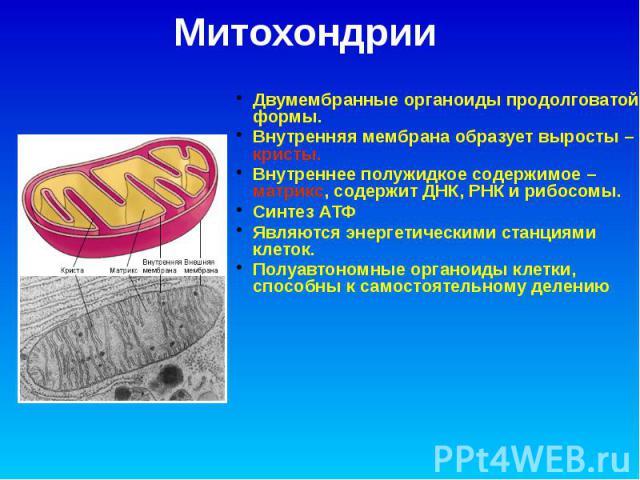 Митохондрии Двумембранные органоиды продолговатой формы. Внутренняя мембрана образует выросты – кристы. Внутреннее полужидкое содержимое – матрикс, содержит ДНК, РНК и рибосомы. Синтез АТФ Являются энергетическими станциями клеток. Полуавтономные ор…